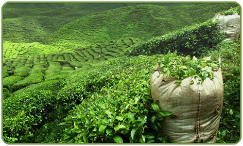 Green tea has become one of the most widely enjoyed beverages in the world.