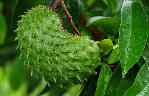 Graviola: A Natural Miracle for Curing Cancer