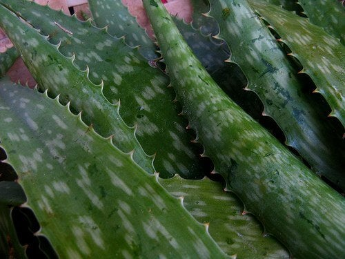 Aloe vera leaves allow you to harness the properties of aloe vera.