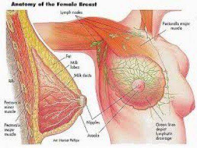 Anatomy of a female breast