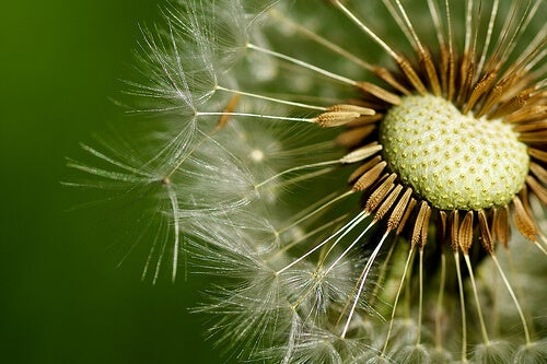 Dandelion can be one of the home remedies for kidney stones