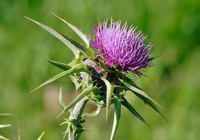 Take milk thistle to manage your estrogen levels