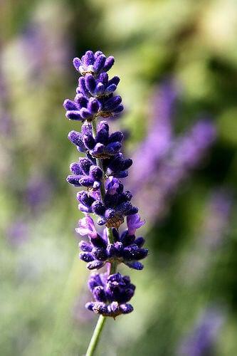 lavender-rutger