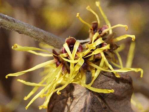 Hamamelis mollis for heavy sweating