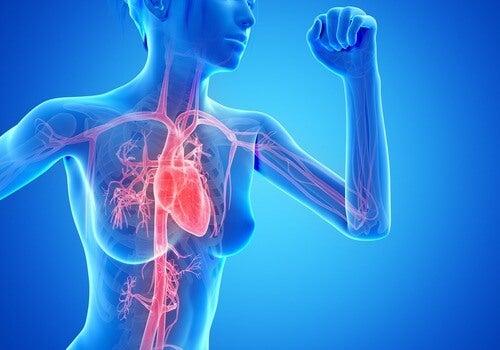 Circulatory system during cardio