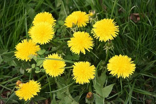 Some dandelions in a field.