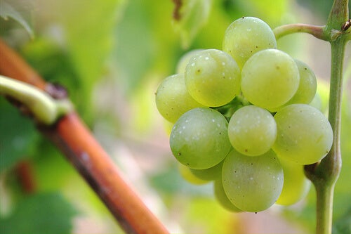 grapes-tribp