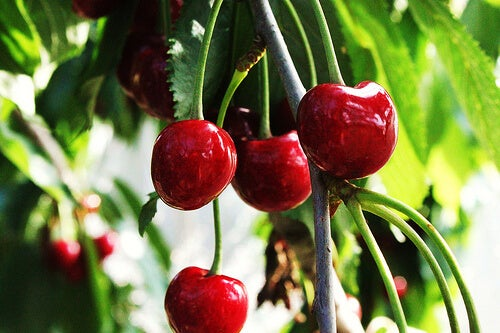 Cherries on a tree.