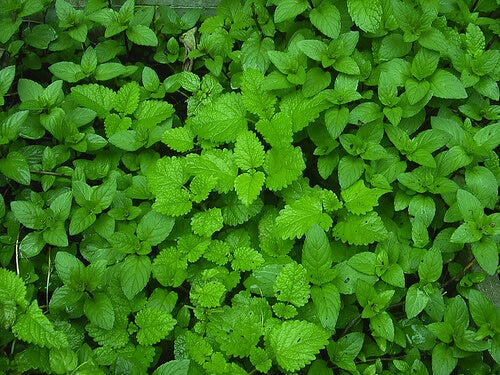 Mint as a natural hair conditioner