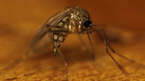 mosquito4