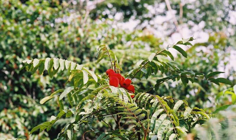 borututu-tree