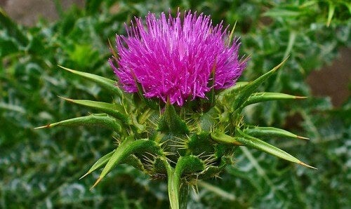milk thistle interior beauty