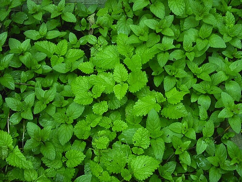 Herbs to cleanse your liver mint