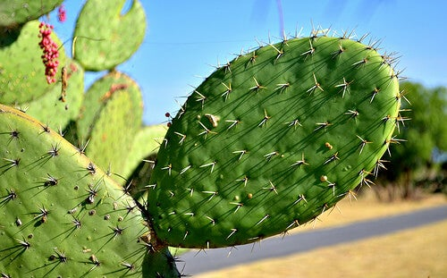 The Healing Properties of Prickly Pear