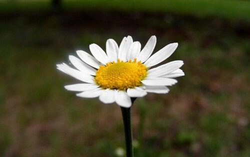 chamomile-flower