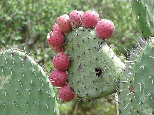 healing properties of nopal - step to health, Skeleton