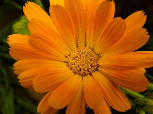 Common marigold.