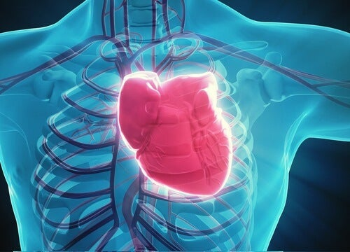 The heart inside the chest.