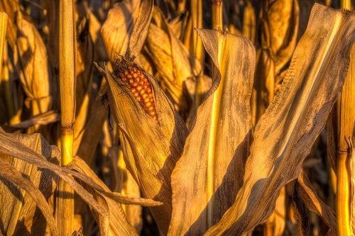 corn - alleviate fluid retention