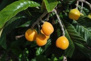 Loquat tree branch