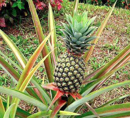 pineapple growing in garden at home