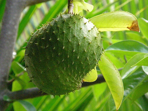 Custard apple or soursop hanging from a tree