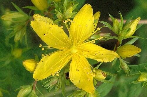 St. John's Wort flower.