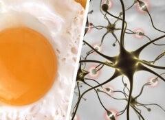 egg-brain