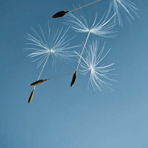 Dandelions floating in the air