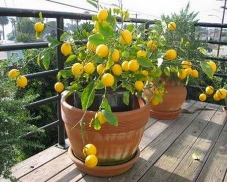 Lemon tree in a plant pot