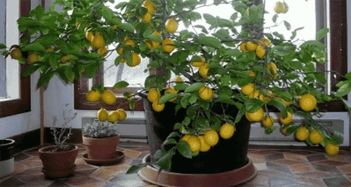 Grow a Lemon Tree from the Seed at Home