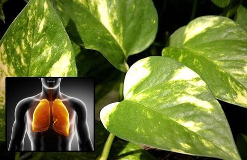 Pothos Plant to Purify the Air in Your Home