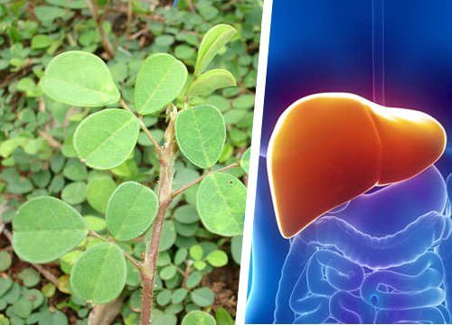 This is a Beneficial Plant for Liver Health