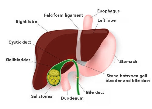 gallbladder, liver and stomach