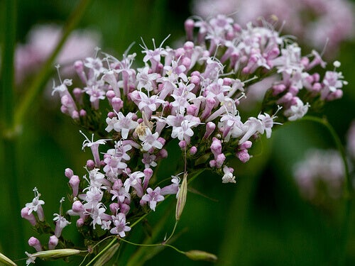 Valerian flowers in bloom