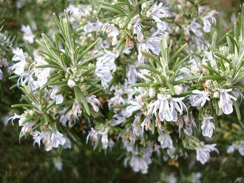 rosemary, one of the simple tricks to beautify your face