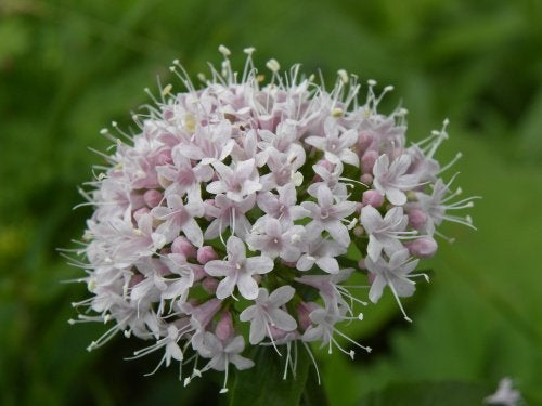 3 valerian flower