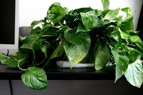 Pothos plant on windowsill