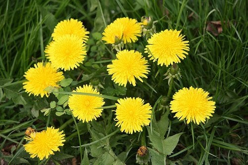 Dandelion tea for better health is made from dandelions