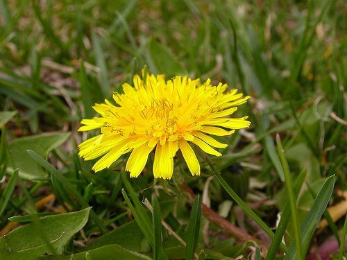 Dandelion root can help regrow hair naturally