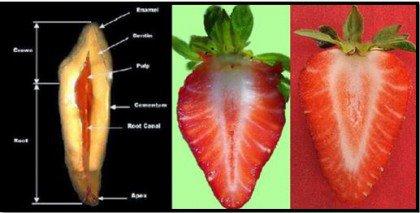 Kehonosia muistuttavat ruoat mansikka