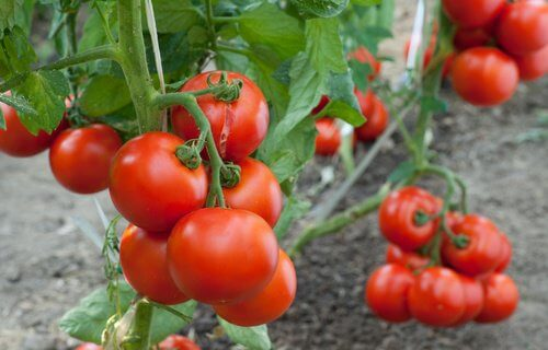 How to Grow Tomatoes at Home