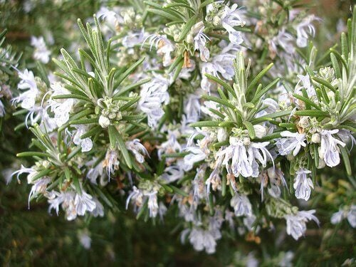 The Amazing Health Benefits and Uses of Rosemary