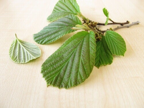 witch hazel to treat varicose veins