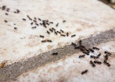 6 Chemical Free Ant Repellents