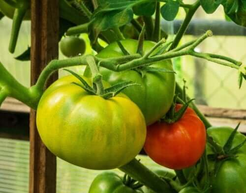 Can You Treat Spider Veins with Tomatoes?