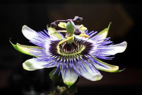 6 passionflower tea