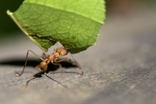 Sitruunan käyttö muurahaisten karkoittamisessa