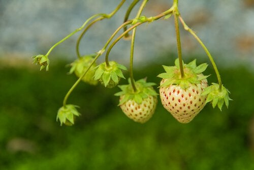White strawberries growing on vine