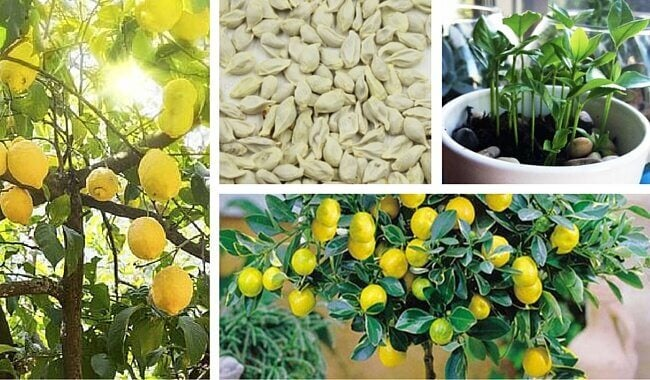 How to Germinate Lemon Seeds at Home